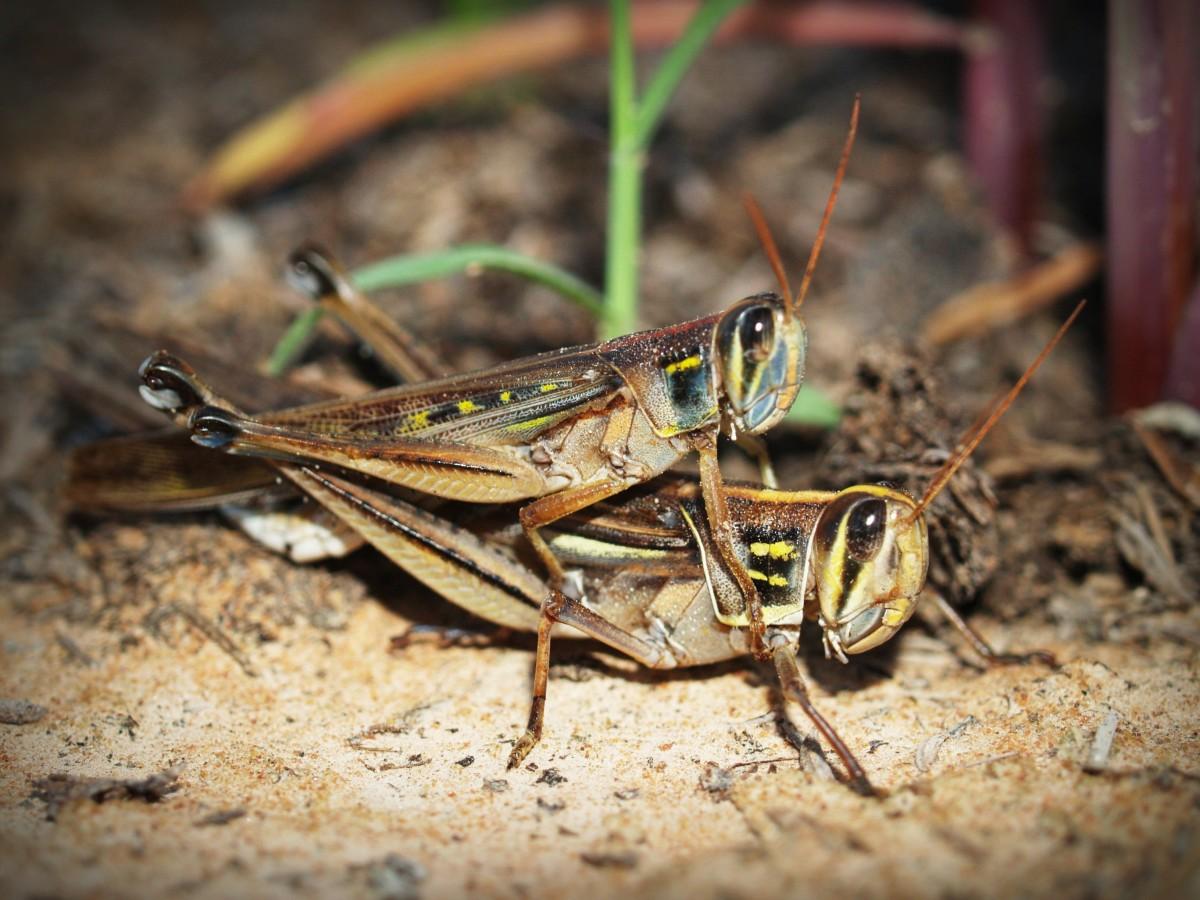 蝗虫破坏粮食 遥感监测技术来助力科学防控